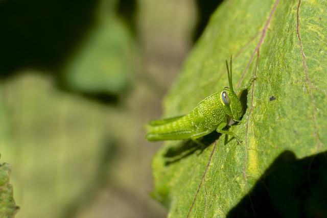 Pour sauver la planète, manger les insectes